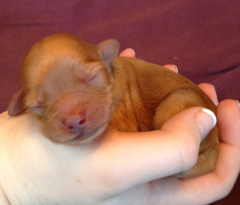 Small reddish-brown puppy held in a woman's hand