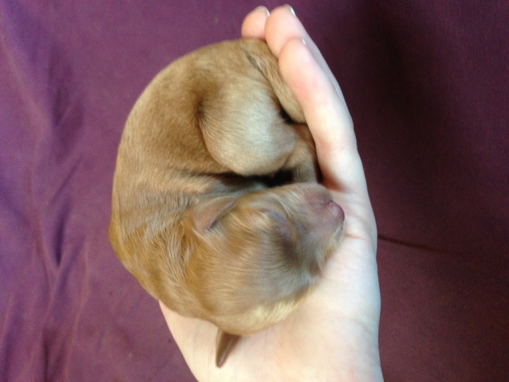 Red-brown puppy held in a woman's hand